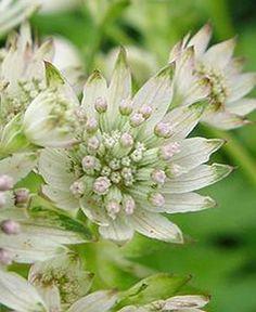 Stjärnflocka Star of Billion (Astrantia major)  En modern stjärnflocka med stora vita blommor. Buskigt växtsätt. Lättodlad sort som inte har några större krav, men växer bäst i fuktighetshållande jord och sol till halvskugga. Fin även till snitt. Går att torka. Blommar juni-augusti. Mycket härdig och kan odlas i hela landet. Höjd ca 70 cm.