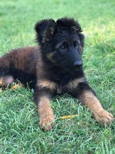 Litter Of 4 German Shepherd Dog Puppies For Sale In Memphis Tn
