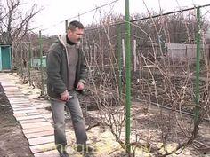 Формирование веером виноградных кустов. - YouTube