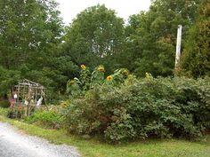 Beginning of the vegetable garden 2008 by Judith Gerber