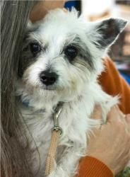 Billy is an adoptable West Highland White Terrier Westie Dog in Louisa, VA. Billy is an adorable senior Westie mix who is looking for just the right home in which to live out his golden years. He weig...