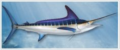 "Striped Marlin - The Striped Marlin (Tetrapturus Audax) also referred to as the ""New Zealand Marlin"" in some Pacific regions is named for the glowing vertical bands of bright blue that light up when its feeding or attacking bait.  A Striped Marlin fish mold from Gray Taxidermy, the World's Largest Marine Taxidermist is made from a mold of a real fish, making our Striped Marlin fish mount, the finest most life like reproduction available."