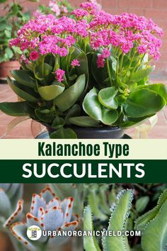 Do you have kalanchoe succulents? Depending on the species, they produce long green leaves or flowers. Learn what type you have and how to care for your Kalanchoe succulent plants. #Kalanchoe #Houseplants #Succulents #IndoorGardening #Gardening #UrbanOrganicYield Blooming Succulents, Indoor Succulents, Growing Succulents, Succulent Gardening, Succulent Plants, Shade Plants, Indoor Gardening, Growing Flowers, Planting Succulents