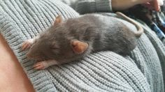 I think I could have a rat as a pet... If I didn't have cats, albeit lazy cats