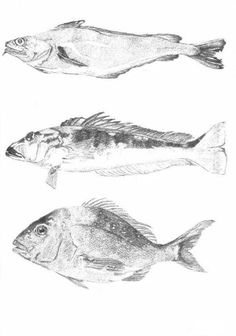 Red cod, Blue cod, Snapper $25  Print, art, drawing