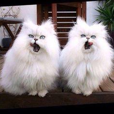 Новости в фотографиях - Синхронные коты