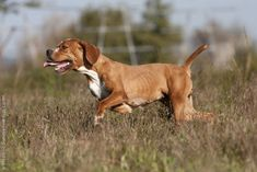 The Portuguese Pointer was developed in medieval Portugal for hunting.  It is reliably gentle & obedient and gets on well with children and other dogs.  While its coat is low maintenance, it requires constant exercise.  The Portuguese handles heat well.