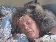 Oh, look: raccoon gifs! - Album on Imgur