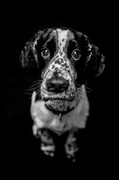Springer Spaniel black and white dog photography