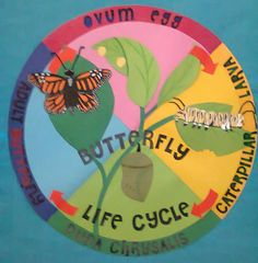 Display of Butterfly Life cycle for Minibeasts Unit