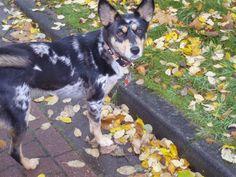 Holly (Australian Shepherd, Deutscher Schäferhund, Siberian Husky) Mischling Mix Blue Merle, Rottweiler, My Best Friend, Best Friends, Schaefer, Husky Mix, Mixed Breed, Australian Shepherd, Corgi