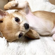 You scratch me I'll scratch you ! #ilovemydog #chilove #chihuahualove #チワワ #犬 #愛犬#chihuahua #aplacetolovedogs ##chihuahuasofinstagram #dogsandpals #barkbox #petbox #happy_pet #dog_features #a_dogsworld #HoundsBazaar #Weeklyfluff #dogdailyfeaturesss #bestwoof #chihuahuapuppy by lovechacharo