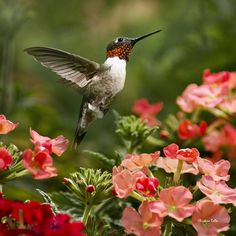 Graceful Garden Jewel Hummingbird Square Print by Christina Rollo.  All prints are professionally printed, packaged, and shipped within 3 - 4 business days. Choose from multiple sizes and hundreds of frame and mat options.