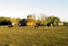 Little horses.   #tiltshift