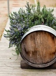 Rosemary growing in an old whiskey barrel