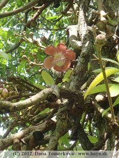 Canonball tree - flower Tropical, Botanical Gardens, Sri Lanka, Plants, Monkey, Flowers, Plant, Planets