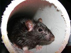 Norway Rat (Rattus norvegicus)