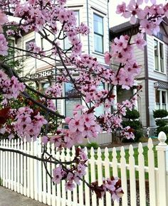 Cherry blossom and picket fence