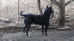 Cachou, mâle, type Berger, né en 2007 (legèrement handicapé)