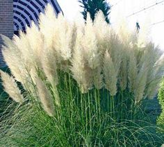 Searched for 15 mins to find the name of this common landscape choice -- Ornamental Grass Images l Pampas Grass White