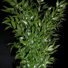 Ruscus Italian - Italy/France - Greens, Foliages and Branches - Flowers by category | Sierra Flower Finder