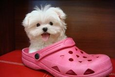 so cute!  A baby maltise. That pink croc really compliments him!!
