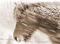 islandshäst, foto Helgi Skulason