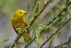Paruline jaune by JeanClavet http://ift.tt/1YQw1aB