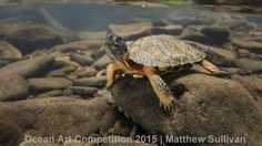 1st place, mirrorless wide-angle category, 'Wood Turtle'  Photographer Matthew Sullivan spotted this juvenile wood turtle at a mountain creek near the Bridge Waterfall in Pennsylvania.| www.piclectica.com #piclectica
