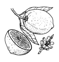 vintage illustration lemon - Sök på Google