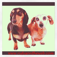 Bonus pic. Featuring another favorite red and black and tan pairing http://wp.me/p27Fw1-d5 Bailey and Onslow. #dachshund #doxies #doxiepairs