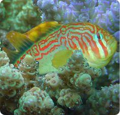 Green Clown Goby, Can be G. astrangulatus - Gobiodon histrio  Scientific NameGobiodon histrio  Reef CompatibleYes  Care LevelBeginner  DispositionPeaceful  Min. Tank Size10 gallons  Mature Size1.5 inches  DietCarnivore  RangeIndo-Pacific