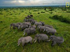 WALLPAPER Elefantes vagam por quilômetros de savana intacta em Uganda http://abr.ai/1jNb1ML