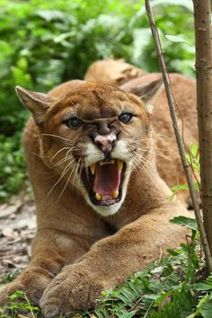 Cougar Letting Out a Good Yowl.