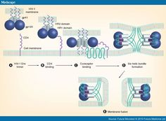 HIV binding to the receptor Signal Transduction, Cell Membrane, Infographics, Medicine, Map, Infographic, Location Map, Maps, Medical