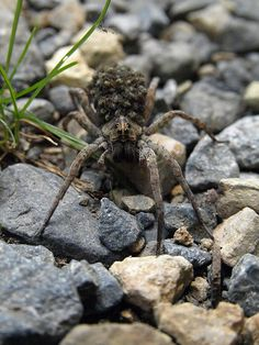 spider with babies on its back