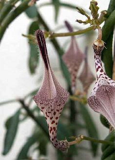 "Ceropegia distincta ""Mseleni"" by hildor, via Flickr"