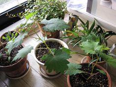 葡萄 食べた種から芽が出ました.