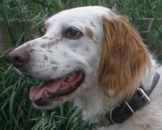 CHURCHILL~ English Setter Purebred Neutered UTD shots 5 YR House trained Adult Male SEATTLE, WA ...Churchill was purchased from a breeder,and he was sent up from Texas to Seattle. He's friendly, outgoing, active & would make a great companion for an active family.  Setters need lots of exercise. He has good house manners, loose in the home when no one is home, sleeps on a dog bed next to his people. Will need a 6 ft fence to run free. Seattle Purebred Dog Rescue  206-654-1117 PLEASE ADOPT…