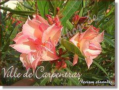 Ville de Carpentras - Nerium oleander lachs gefüllt - www.oleandershop.de - Oleanderhof Nerium, Flowers Nature, Rose, Garden, Salmon, Pink, Roses, Lawn And Garden, Gardens
