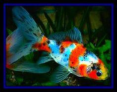 "Shubunkin Goldfish ""poor man's koi"", beautiful, easy care fish, makes for good outdoor ponds"