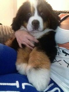 Love this pup!!!!  If he's for sale, I would take him home! Bernese mountain dog puppy