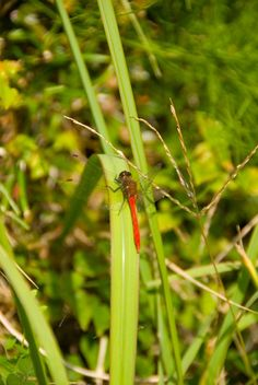 Dragonflies, as red as sunset