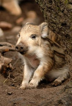 (via Wild Baby by ~x-crossroad on deviantART) - animals-of-the-wo. Live Animals, Animals And Pets, Cute Baby Animals, Funny Animals, Wild Boar, Cute Pigs, Mundo Animal, Tier Fotos, Zebras