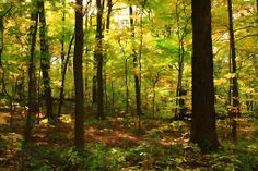 """""""Maple Forest"""" (processed in a painterly style)"""