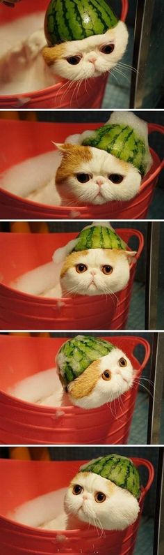 Bath time~What they do to us cats. Would you like to wear a watermelon skin cap?