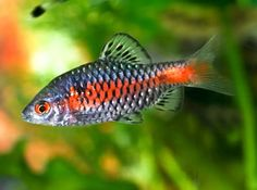 Odessa Barb - Great schooling semi-aggressive choice. Also very beautiful.
