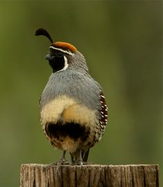 I want to see a Gambel's Quail!