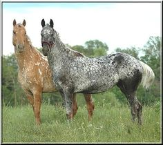 This one is a puzzle. I think they both have Snowflake markings. The front one is defintly NOT a grey, but could be a Varnish Roan.
