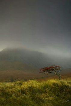 Rowan tree. Glen Brittle, Scotland